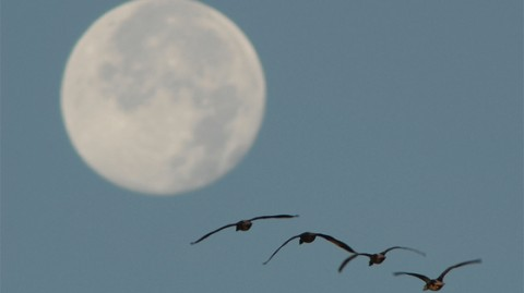 FullMoon+geese2
