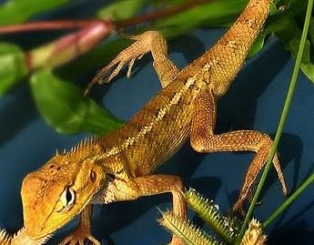 Lizard_garden lizard by williamcho at flickr