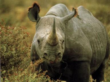 rhino_x385