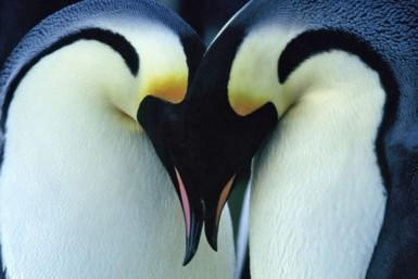 Penguin_emperorPair_x385
