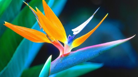 Photo_bird-of-paradise-flower-1