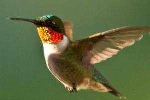 hummingbird3_ruby-throated