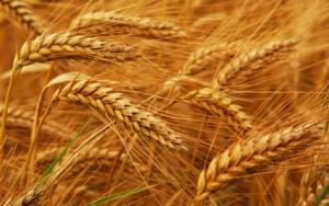 wheat20_x300