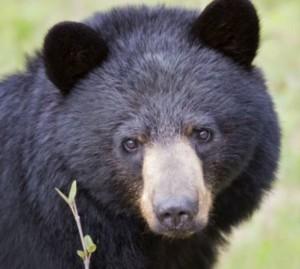 150715_bear_black2-CROPx300