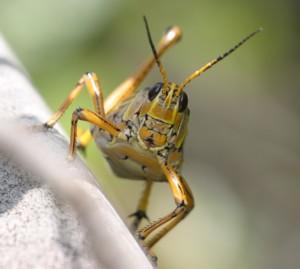 150730_Grasshopper7_x300
