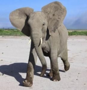150814_elephant5_byGraemShannon-AssocPress_x300