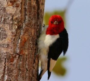 160413_woodpecker1-CROP_x300