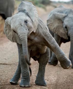 160810_elephant10-CROP_x300